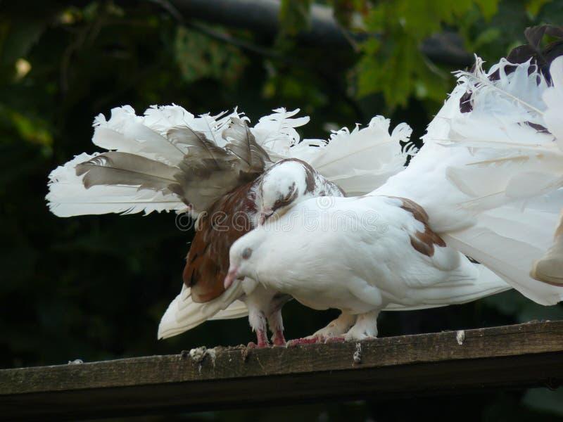 Amor e pombas imagem de stock royalty free
