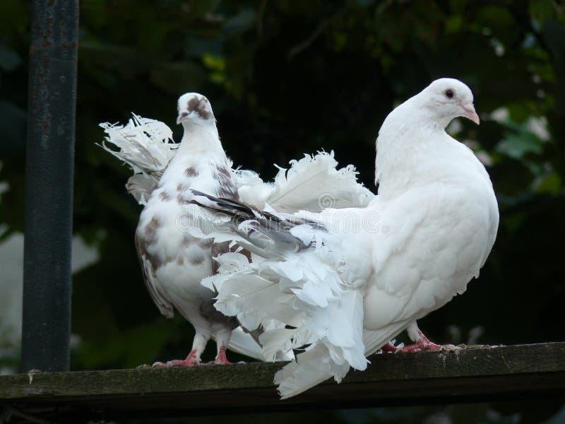 Amor e pombas fotos de stock