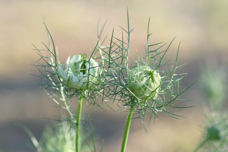 Amor en una flor del damascena de Nigella de la niebla fotografía de archivo libre de regalías