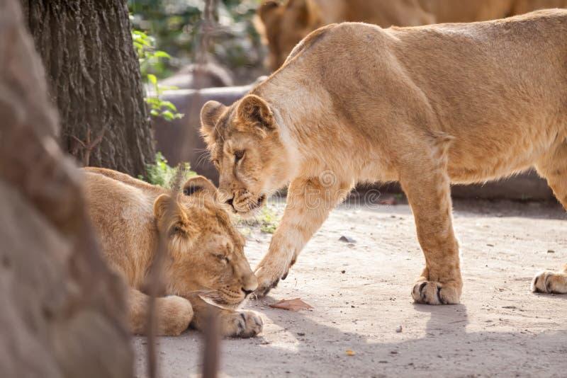 Amor entre dois leões fêmeas imagens de stock