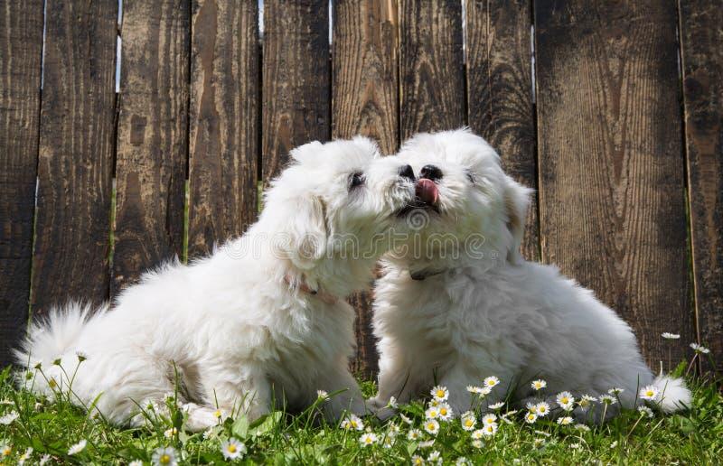 Amor grande: dois cães do bebê - cachorrinhos de Tulear do algodão - beijo fotografia de stock