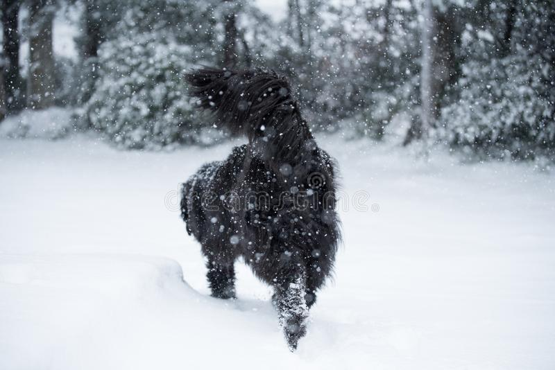 Amor lindo de la tarjeta del día de San Valentín de Navidad de la Navidad de santa del perro de Terranova imagenes de archivo
