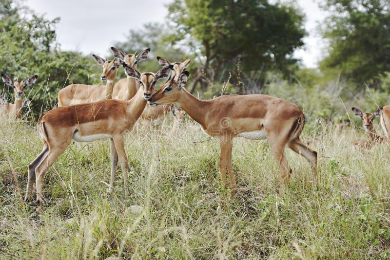 Amor novo do Impala fotos de stock