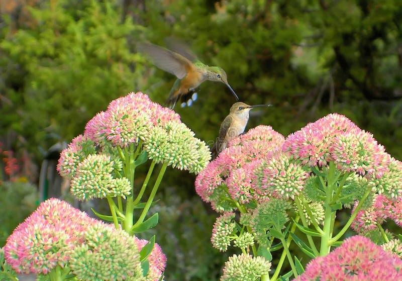 Amor ou ódio do colibri? foto de stock royalty free