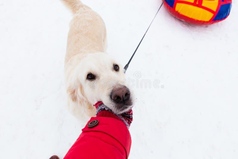 Amor para animais de estimação - selfie-retrato de um cão grande bonito em uma caminhada do inverno fotografia de stock