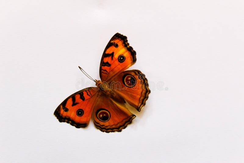 Amor perfeito do pavão da borboleta bonito imagem de stock royalty free