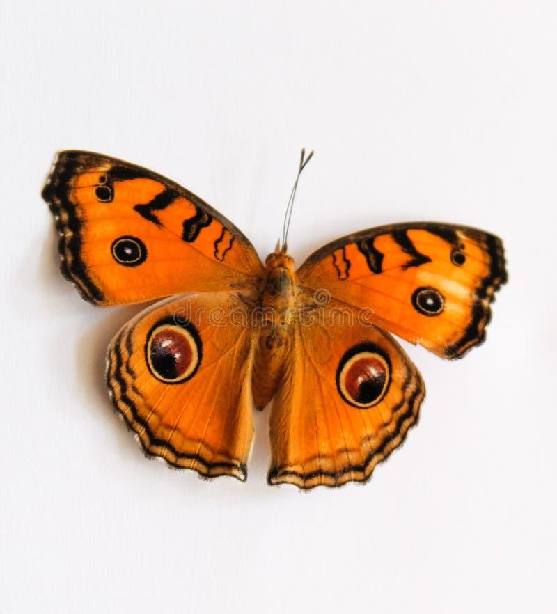 Amor perfeito do pavão da borboleta bonito fotos de stock royalty free