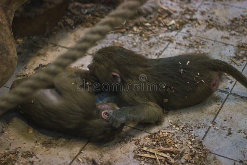 Amor puro entre el mono y el bebé foto de archivo