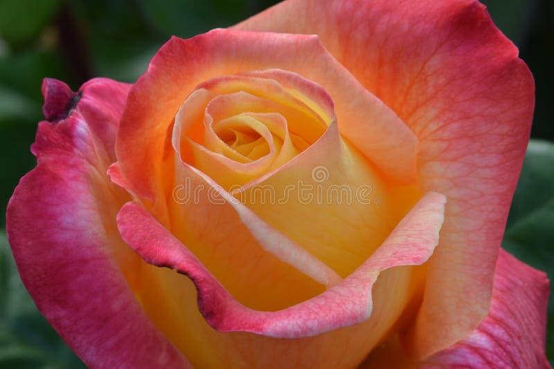 Amor y paz Rose Flower 02 fotos de archivo libres de regalías