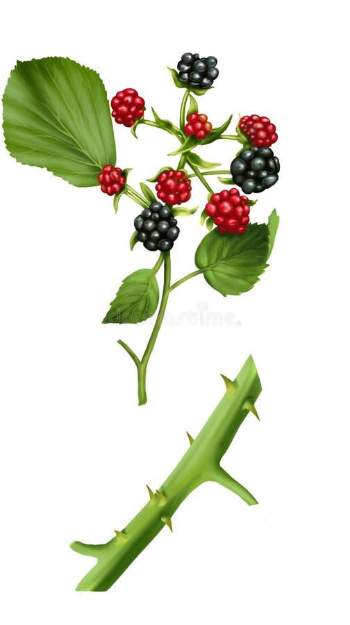 Amora-preta do fruto ilustração royalty free