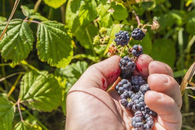 Amoras-pretas da colheita do fruto imagem de stock royalty free