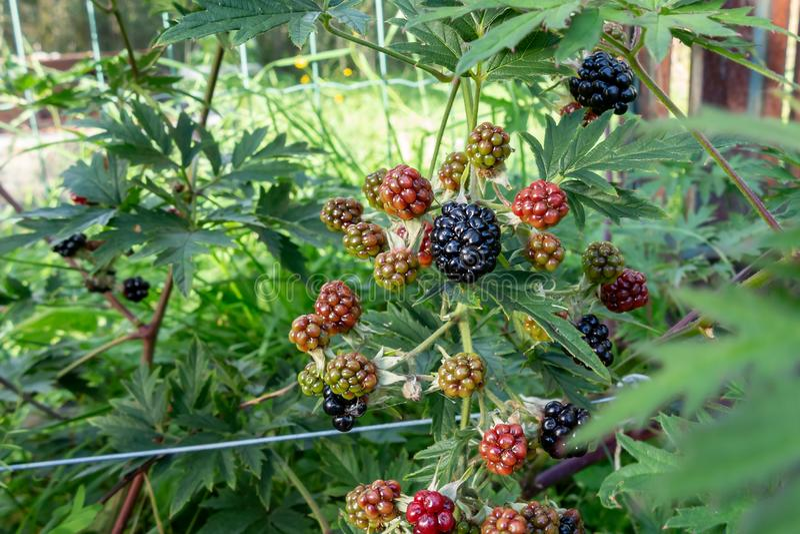 Amoras-pretas de amadurecimento em um arbusto no jardim - foto, imagem fotografia de stock royalty free