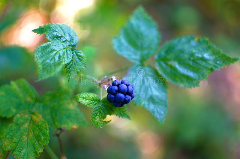 Amoras-pretas em um arbusto imagens de stock