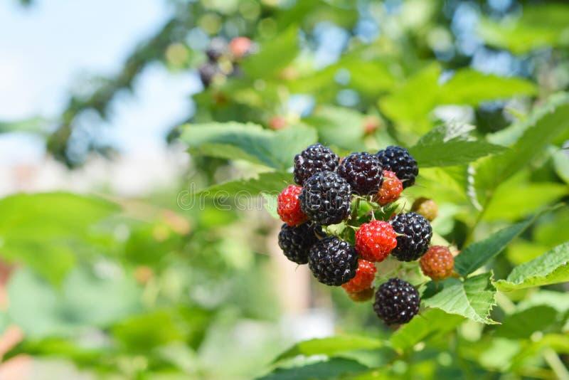 Amoras-pretas frescas maduras no jardim do fruto fotografia de stock