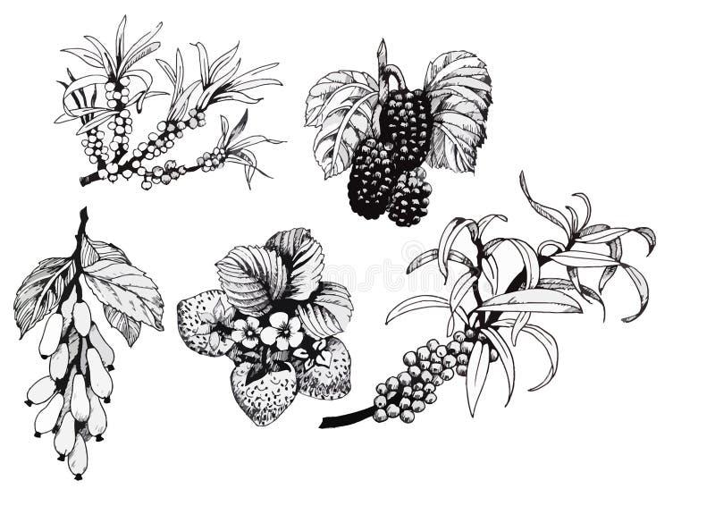 Amoras-pretas, morangos e corniso e bagas de espinheiro cerval do mar, grupo preto e branco da ilustração ilustração stock