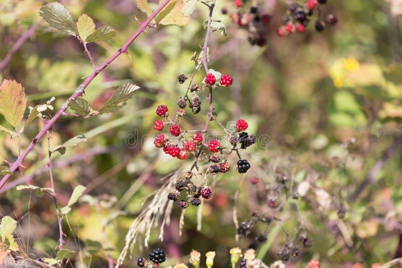 Amoras-pretas vermelhas e pretas frescas no arbusto Foco seletivo fotografia de stock royalty free