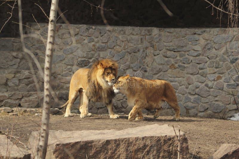 Amore dei leoni immagine stock