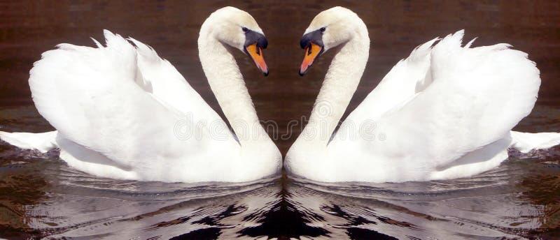 Amore del cigno fotografie stock libere da diritti