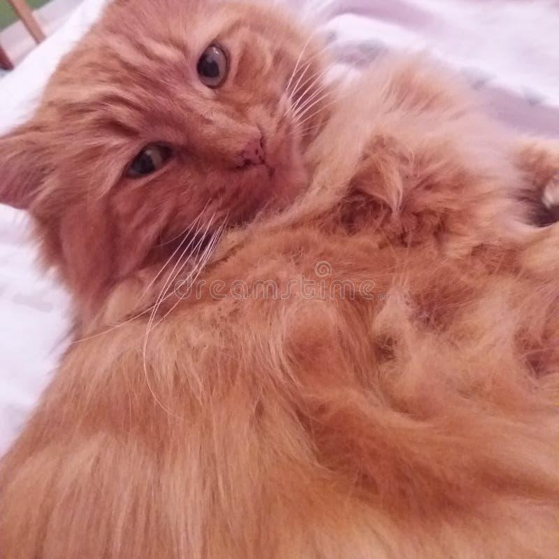 Amore del gatto fotografia stock libera da diritti