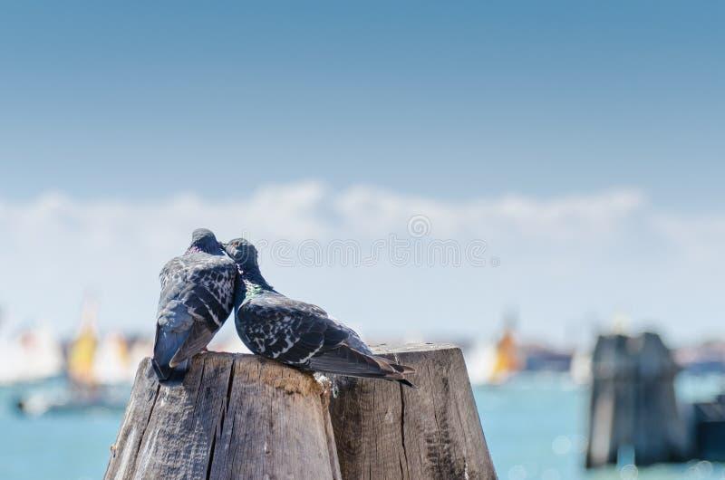 Amore del piccione immagine stock