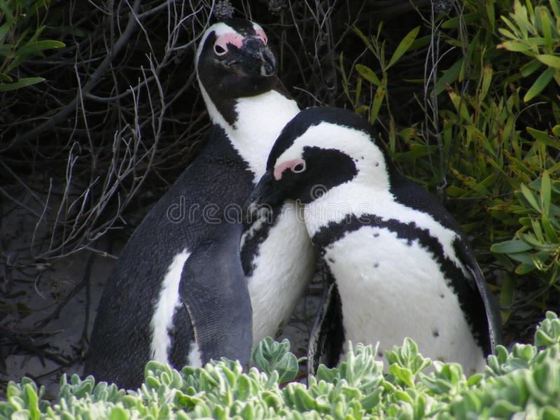 Amore del pinguino immagine stock libera da diritti