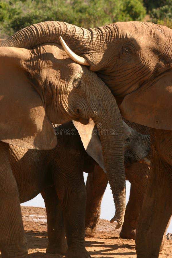 Amore dell'elefante immagini stock