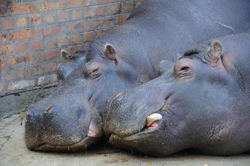 Amore dell'ippopotamo fotografia stock libera da diritti