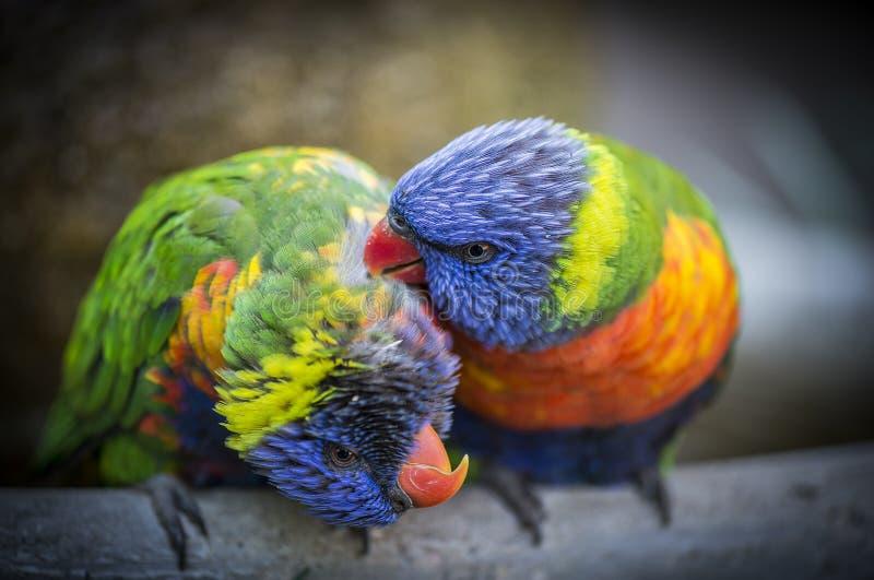 Amore dell'uccello immagini stock