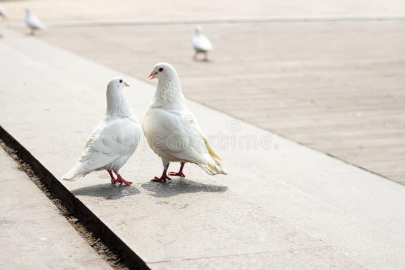 Amore della colomba fotografie stock libere da diritti