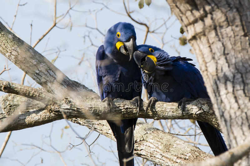 Amore della primavera: Hyacinth Macaw Pair Buddies fotografie stock