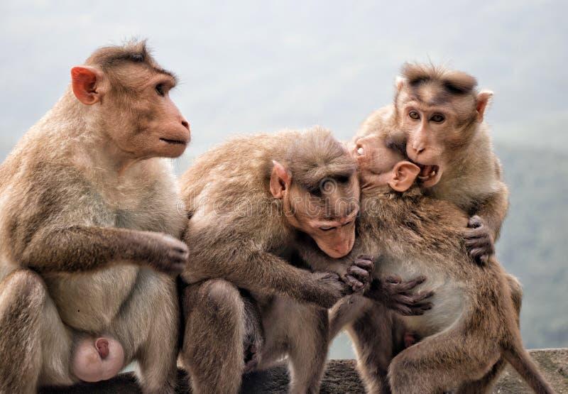 Amore della scimmia fotografie stock libere da diritti