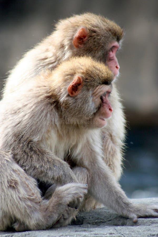 Amore della scimmia della neve immagini stock