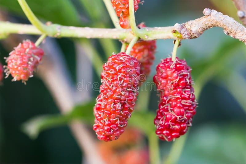 A amoreira na árvore é fruto de baga na natureza imagens de stock royalty free