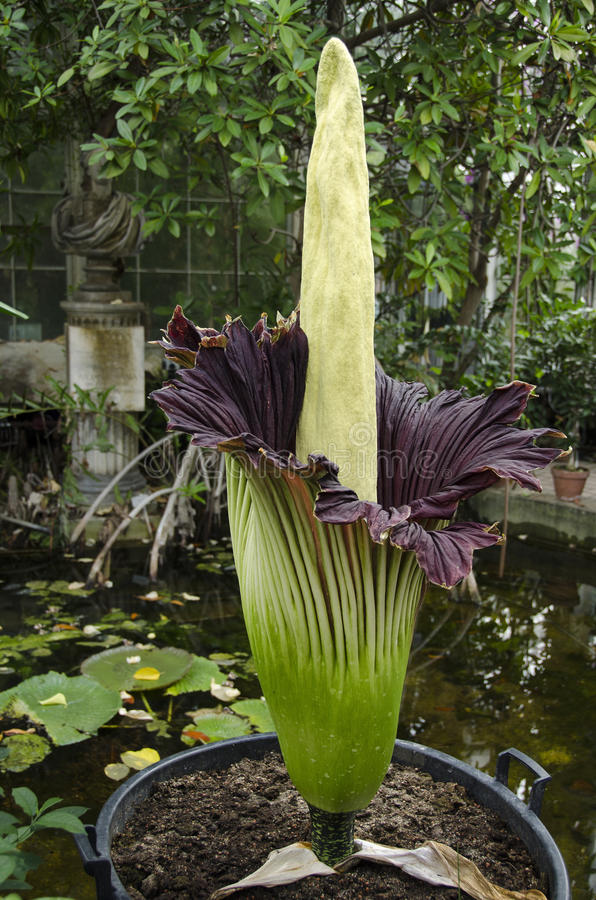 Amorphophallus Titanum A Flowering Plant With The Largest Unbran Editorial Photo
