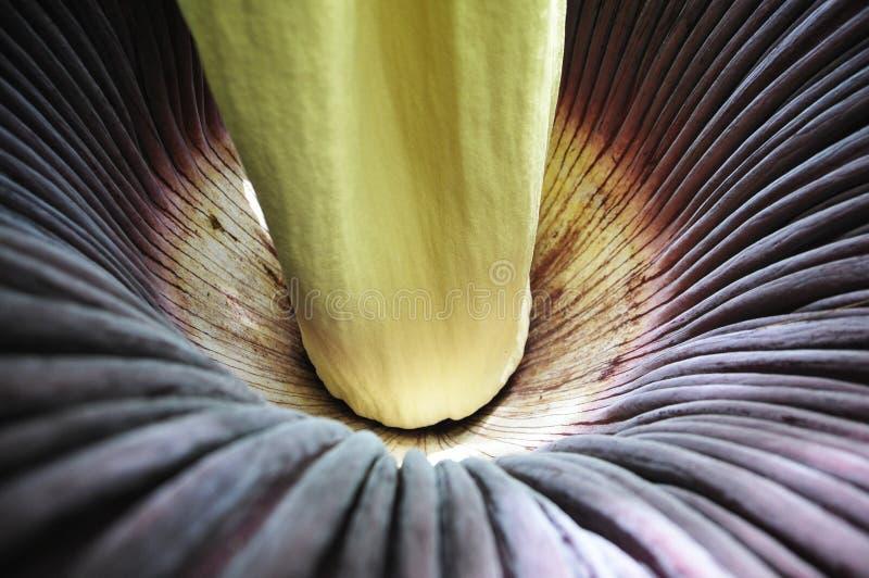 Amorphophallustitanum royalty-vrije stock afbeeldingen