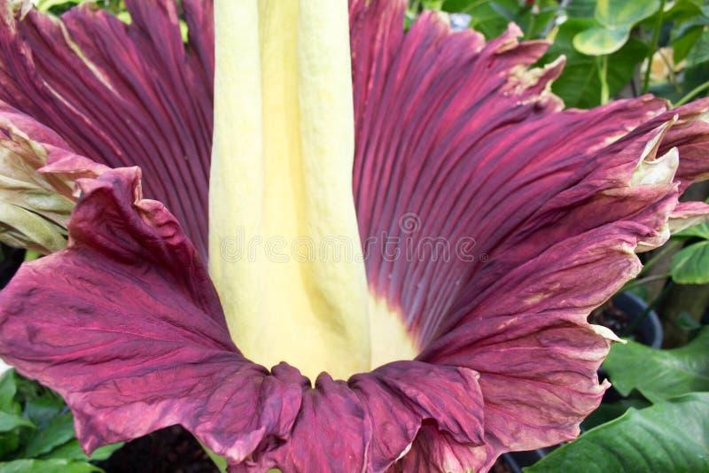Amorphophullustitanium & x28; Lijk Flower& x29; royalty-vrije stock afbeelding
