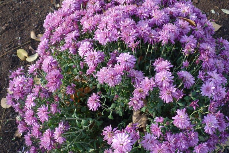 Amortiguador de flores rosadas del morifolium del crisantemo fotografía de archivo libre de regalías