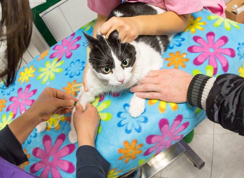 Amostra de sangue do veterinário imagem de stock royalty free