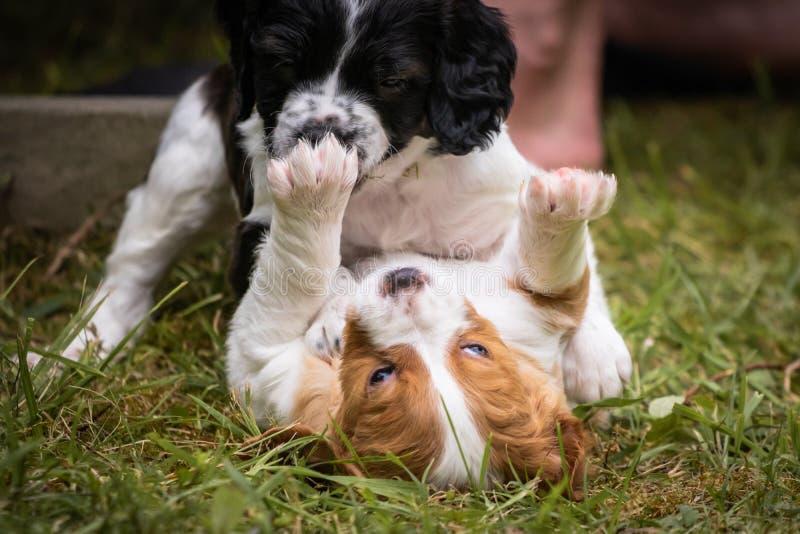 Amour à la première vue - couple de l'épagneul de Bretagne heureux de chiens de bébé jouant autour, se sentant et caressant photo libre de droits