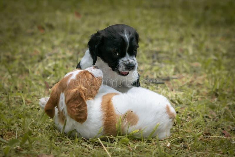Amour à la première vue - couple de l'épagneul de Bretagne heureux de chiens de bébé jouant autour, se sentant et caressant photos libres de droits