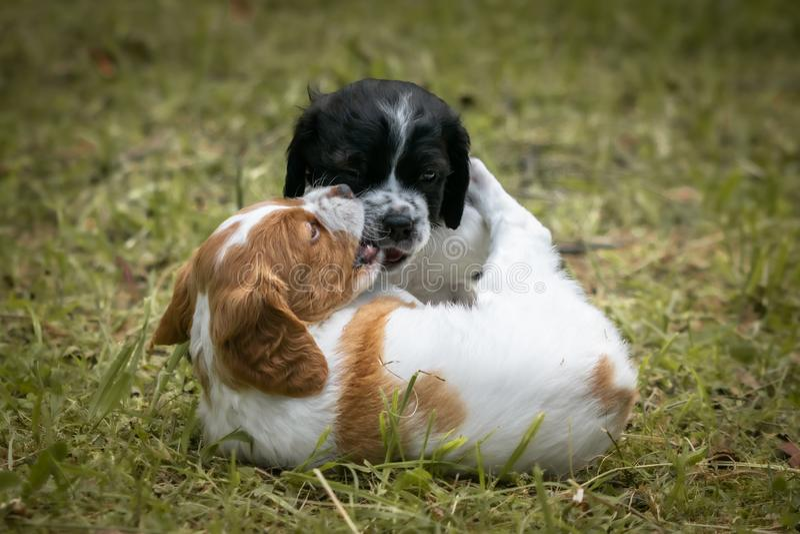 Amour à la première vue - couple de l'épagneul de Bretagne heureux de chiens de bébé jouant autour, se sentant et caressant image stock