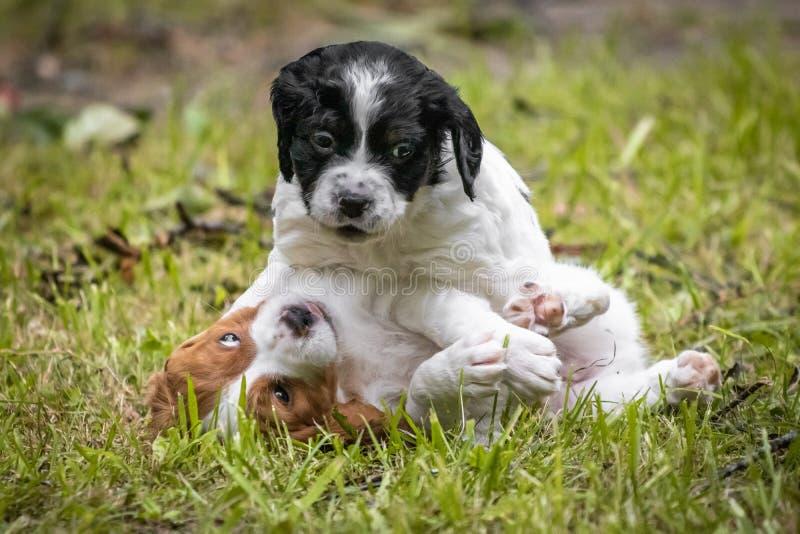 amour à la première vue - couple de l'épagneul de Bretagne heureux de chiens de bébé jouant autour, se sentant et caressant photos stock