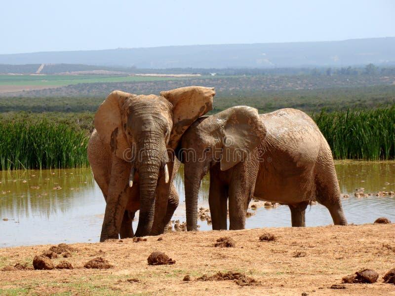 Amour d'éléphant photo stock