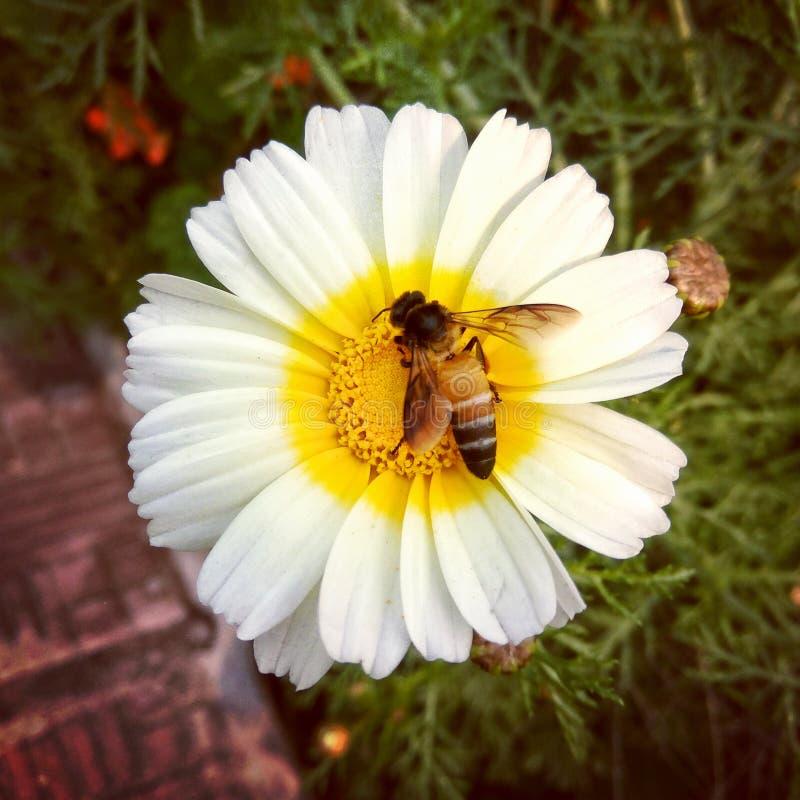 Amour d'abeille de miel avec des fleurs photographie stock