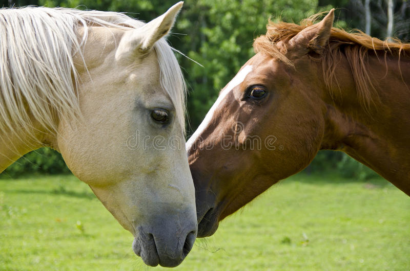 Amour de cheval image stock