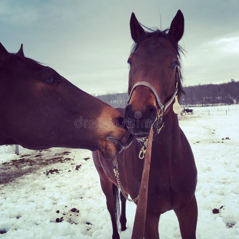 Amour de cheval de baie photographie stock