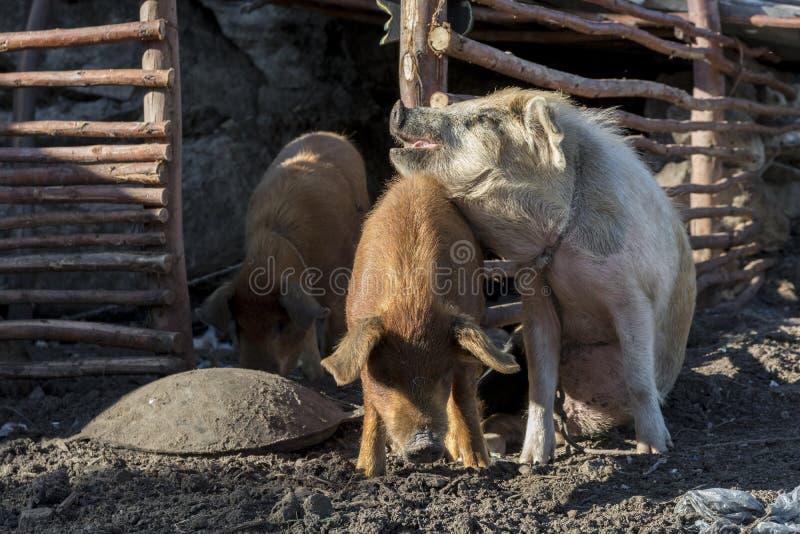 Amour de Porks image libre de droits