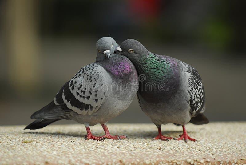 amour de valentine de baiser de pigeon images libres de droits