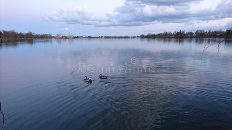 Amour des canards image libre de droits