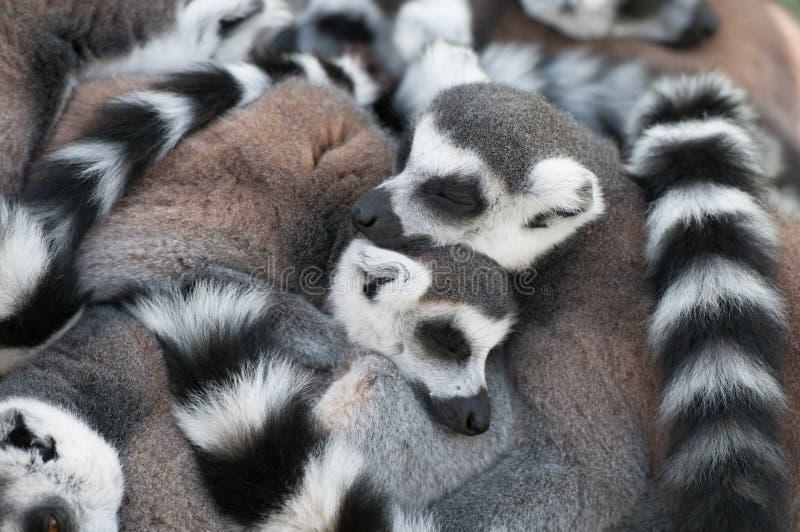 Amour des Lemurs photographie stock